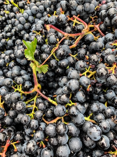 Geerntete Trauben der dunkelroten und aromatischen Sorte Regent glänzen appetitlich.